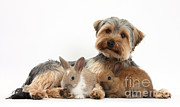 House Pets Posters - Yorkshire Terrier Dog And Baby Rabbits Poster by Mark Taylor
