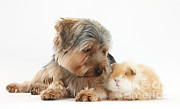 Yorkshire Terrier Prints - Yorkshire Terrier Dog And Guinea Pig Print by Mark Taylor