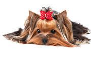 Miniature Photo Originals - Yorkshire Terrier by Konstantin Gushcha