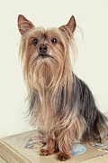 Ears Up Prints - Yorkshire Terrier Posing on a Suitcase Print by Susan Stone