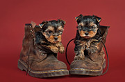 Yorkshire Terrier Puppies  Print by Marta Holka