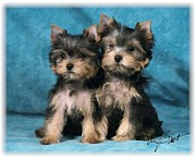Puppies Digital Art Posters - Yorkshire Terrier Pups 2 Poster by Maxine Bochnia