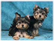 Puppies Digital Art Metal Prints - Yorkshire Terrier pups 3 Metal Print by Maxine Bochnia