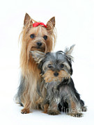 Yorkshire Terriers Print by Jane Burton
