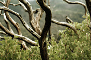 Light Taupe Prints - Yosemite Manzanita Print by Bonnie Bruno