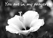 Are Posters - You Are In My Prayers Card - black and white Hibiscus Poster by Kerri Ligatich