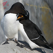 Razorbill Framed Prints - You are my Valentine... Framed Print by Nina Stavlund