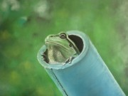 Amphibians Pastels - You Called by Paul Horton