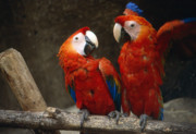 Parrots Photos - You did What by Gary Brandes