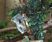 Koala Bear Art - You Looking At Me by Darrell Garrett