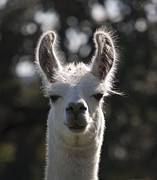 Peruvian Llama Prints - You Talkin to me ? Print by Kelly Rader