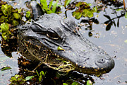 Alligator Bayou Photos - Young Alligator by Jason Jeffries