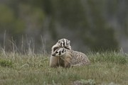 Wild Animals Photo Prints - Young American Badgers Playing Print by Norbert Rosing