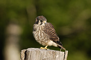 Sparrow Prints - Young American Kestrel Print by Randy Bodkins