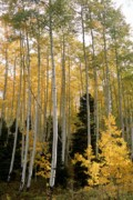 True Grit Photo Posters - Young Aspens Poster by Eric Glaser