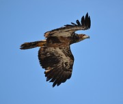 Baby Bird Photos - Young Bald Eagle by Debra  Miller