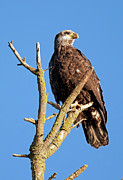 Whit Prints - Young Bald Eagle Print by Terry Dadswell