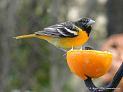 Oriole Mixed Media Prints - Young Baltimore Oriole Print by Bruce Ritchie
