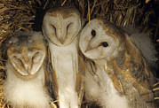 Juveniles Prints - Young Barn Owls Print by Duncan Shaw