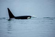 Up201209 Photos - Young Bay Orca by Josh Whalen