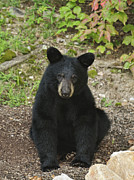 Black Bear Photos - Young Bear 1 by Lara Ellis