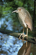 Immature Photos - Young Black Crowned Night Heron by Suzanne Gaff
