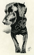 Puppies Drawings Framed Prints - Young Black Lab Framed Print by Chris Trudeau