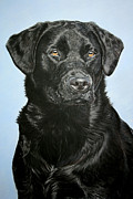 Puppies Pastels Framed Prints - Young Black Labrador Framed Print by Lucy Swinburne