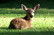 Bambi Posters - Young Black-tailed Deer Poster by Sharon  Talson