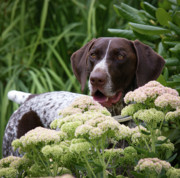 German Pointer Prints - Young Blaze Print by Joe Teceno