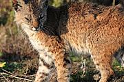 Young Bobcat 01 Print by Wingsdomain Art and Photography