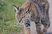 Young Bobcat 03 Print by Wingsdomain Art and Photography