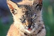 Bobcats Metal Prints - Young Bobcat 04 Metal Print by Wingsdomain Art and Photography