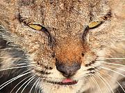 Bobcats Photo Prints - Young Bobcat Portrait 01 Print by Wingsdomain Art and Photography