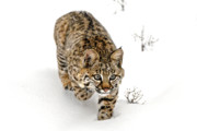 Scowl Prints - Young bobcat stalking Print by Melody and Michael Watson