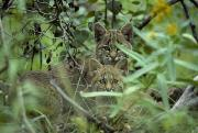 Bobcats Metal Prints - Young Bobcats Metal Print by Michael S. Quinton