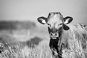Wary Prints - Young Brown Cow With Yellow Ear Tags Eye Contact In Long Grass In Ireland Print by Joe Fox