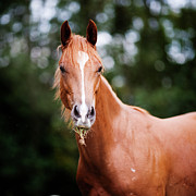 Quarter Horse Posters - Young Brown Quarter Horse Poster by Jorja M. Vornheder