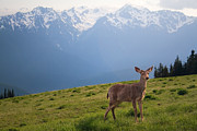 Hurricane Ridge Framed Prints - Young Buck and Mt. Olympus Peaks at Hurricane Ridge Framed Print by Stacey Lynn Payne