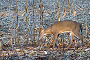 Cornfield Photos - Young Buck by Dan Wells