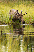 Alaska Wildlife Photos - Young Bull Moose in a Pond by Thomas Payer