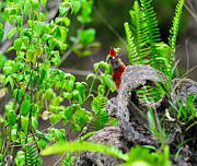 Beak Photos - Young Cardinal Peeks by Wayne Nielsen