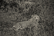 Travel - Tanzania - Young Cheetah Abstract by Darcy Michaelchuk