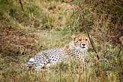 Travel - Tanzania - Young Cheetah by Darcy Michaelchuk