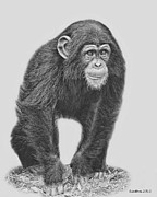 Chimpanzee Digital Art Prints - Young Chimpanzee 2 Print by Larry Linton