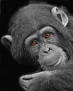 Chimpanzee Photo Posters - Young Chimpanzee Poster by Larry Linton