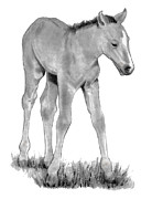 Ranch Drawings Posters - Young Colt Standing Poster by Joyce Geleynse