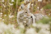 Young Coyote Canis Latrans In A Forest Print by Philippe Widling
