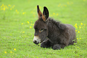 Donkey Foal Prints - Young Donkey In Meadow, Baden-wurttemberg, Germany Print by Raimund Linke