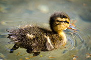 Baby Bird Prints - Young duck Print by Mats Silvan